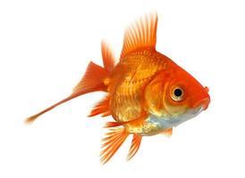 guldfisk isolerad på vitt foto