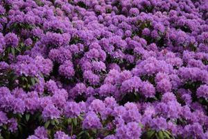hav av lila rododendronblommor
