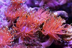 havsanemoner