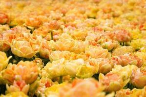 vacker gul tulpan foto