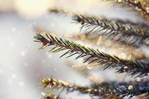 glittrande isdroppar på gran-grenar. foto