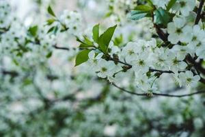 vit körsbärsblom