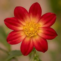 röd och gul dahlia