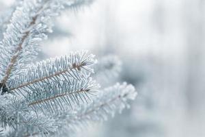 vinterbakgrund med frostiga granfilialer foto