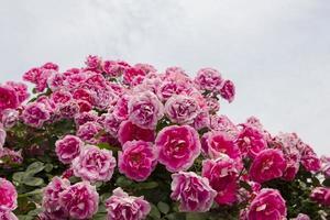 ros trädgård
