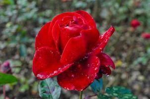våt röd ros foto