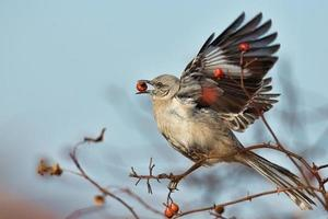 norra mockingbird