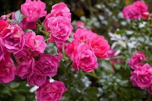 floribunda trädgård ros 'kittlade rosa' foto