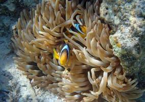 snorkling i Röda havet foto