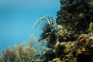 närbild av giftig lejonfisk som simmar på korallrev