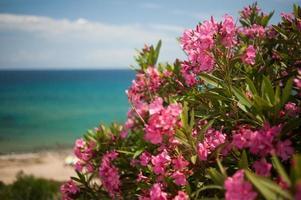 oleander foto