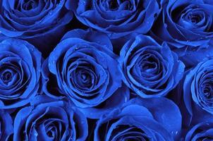 blå rosor foto