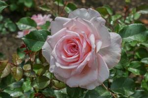 rosa ros foto
