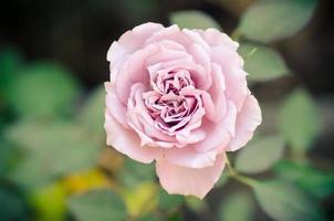 vacker ros foto