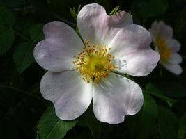 Vild ros