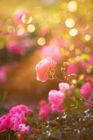 trädgårdsrosa foto