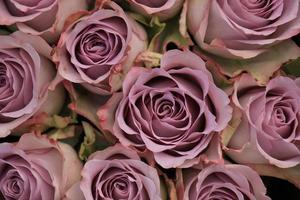 lila rosor foto