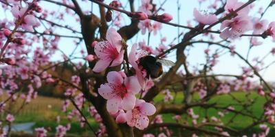 humla på ett persikoträd foto