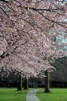 blommande körsbärsblommor foto