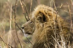 lejon i Kruger nationalpark foto