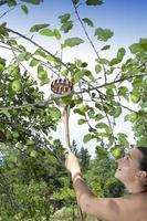vacker kvinna som samlar gröna ekologiska äpplen med plockstaven