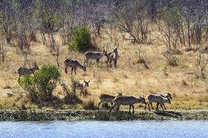 vattenbuck i Kruger nationalpark foto