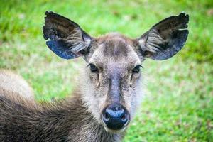 rådjur vid khao yai nationalpark