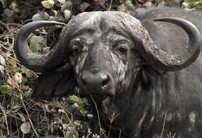 afrikansk buffel foto