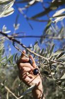 skörda oliver för hand
