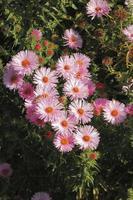 blommande asters
