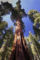 jätte sequoia träd, mariposa lund, Yosemite National Park, Kalifornien, USA