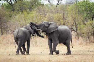 afrikansk buskeelefant i Kruger nationalpark foto