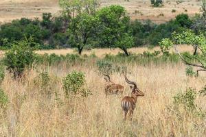 impala (antilop), pilanesberg nationalpark. Sydafrika. 29 mars 2015 foto