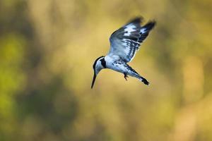 pied kingfisher i Kruger National Park foto