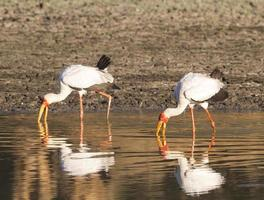gulnäbbade storkar som fiskar foto