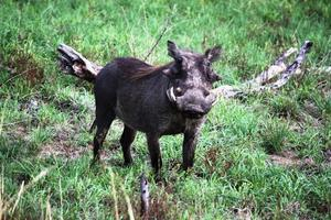 vårtsvin i Kruger nationalpark Sydafrika foto