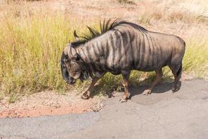 gnu, pilanesberg nationalpark. Sydafrika. 29 mars 2015 foto