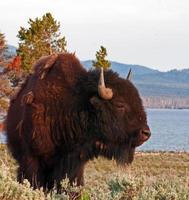 bison buffalo tjur vid Yellowstone sjön i Yellowstone np