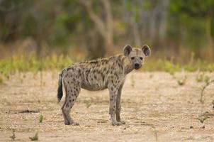 prickig hyena (crocuta crocuta) tittar på kameran foto