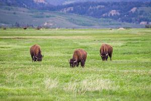 tre bison i Grand Teton National Park, USA