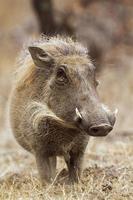 vanlig vårtsvin i Kruger nationalpark foto