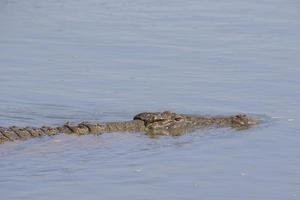 närbild av simning nil krokodil foto