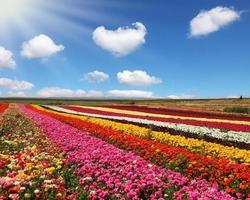 stort fält av röda trädgårdssmörblommor foto