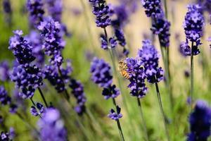 bi och lavendel fält
