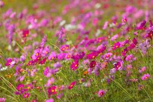 mjukt fokus på rosa kosmos i trädgården. foto