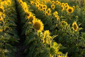 rader av solrosor i ett fält