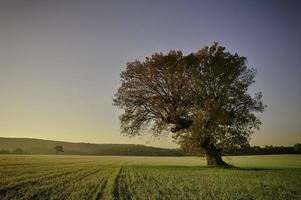 träd på fältet. foto