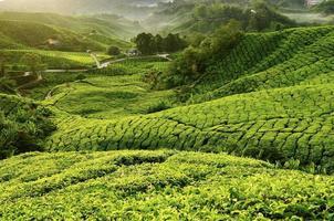 utsikt över teplantagen under morgonen. selektivt fokus foto