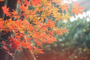 röda lönnlöv i solsken foto