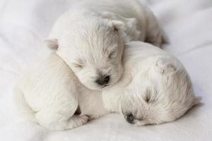 sovande valpar foto
